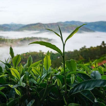 Something-special-about-Rwandan-Black-Tea-square